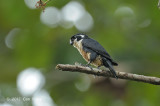 Falconet, Black-thighed @ Merapoh