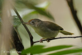 Babbler, Scaly-crowned @ Merapoh