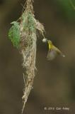 Sunbird, Olive-backed @ Halus