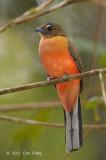 Trogon, Scarlet-rumped (female)