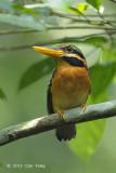 Kingfisher, Rufous-collared (female)