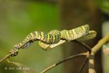 Viper, Wagler's Pit (female)