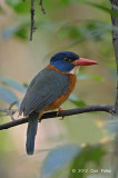 Kingfisher, Green-backed (male) @ Tangkoko