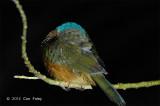Kingfisher, Green-backed (asleep) @ Tangkoko
