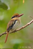 Kingfisher, Lilac-cheeked (female) @ Tangkoko