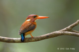 Kingfisher, Sulawesi Dwarf