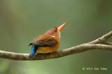 Kingfisher, Sulawesi Dwarf @ Tangkoko