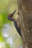 Woodpecker, Ashy