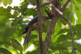 Woodpecker, Ashy (male) @ Tangkoko