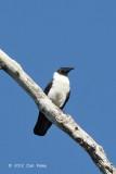 Crow, Piping @ Lake Tambing