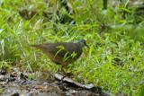 Dove, Sulawesi Ground @ Anaso track