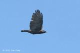 Eagle, Sulawesi Hawk @ Lake Tambing