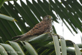 Kestrel, Spotted @ Napu valley