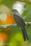 Cuckoo, Rusty-breasted @ Lake Tambing