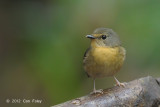 Flycatcher, Snowy-browed (female) @ Lake Tambing