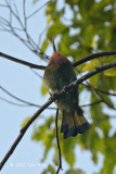 Bee-eater, Red-bearded @ The Old Road