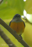 Flowerpecker, Orange-bellied @ The New Road
