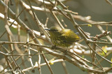 Sunbird, Purple-naped @ The New Road