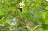 Leafbird, Blue-winged (male) @ The Old Road