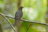 Dove, Little Cuckoo @ Jeriau Waterfall