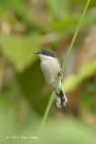 Flycatcher-Shrike, Bar-winged