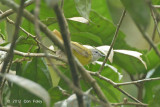 Warbler, Yellow-bellied