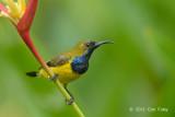 Sunbird, Olive-backed @ Botanic Gardens