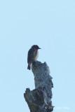 Flowerpecker, Grey-sided @ hornbill lookout