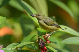 Flowerpecker, Orange-bellied (female) @ Bukit Batok