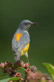Flowerpecker, Orange-bellied (male) @ Bukit Batok