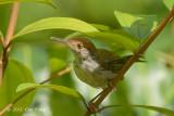 Tailorbird, Dark-necked (fem) @ BBNP
