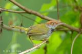 Tailorbird, Dark-necked (male) @ BBNP