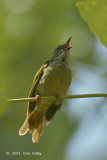 Sunbird, Plain (female)