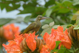 Spiderhunter, Spectacled