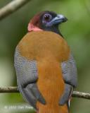 Trogon, Diard's (male)