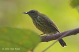 Sunbird, Purple-naped