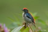 Flowerpecker, Scarlet-backed (male) @ SBWR