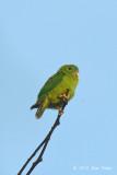 Parrot, Blue-crowned Hanging (juvenile)