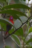 Sunbird, Temminck's (male)