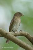 Flycatcher, Brown-streaked @ Halus