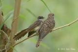 Cuckoo, Rusty-breasted (fledgling) @ Halus