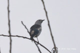Starling, Purple-backed
