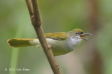 Sunbird, Plain (male)