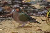Dove, Emerald (female) @ Rifle Range
