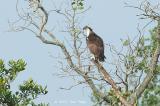 Osprey @ Sungei Buloh