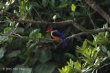 Kingfisher, Black-capped @ Sungei Buloh
