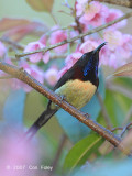 Sunbird, Black-throated (male) @ Doi Inthanon