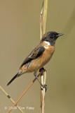 Stonechat, Common (male) @ Chiang Dao