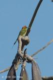 Bee-eater, Green @ Chiang Dao
