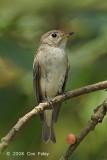 Flycatcher, Asian Brown @ Chinese Gardens